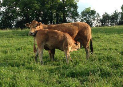 Vache Moutarde élevage Rochereau