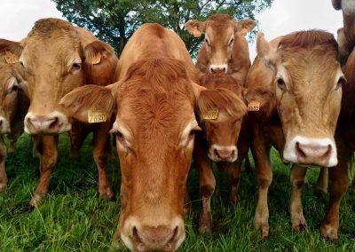 Troupeau vaches Limousines